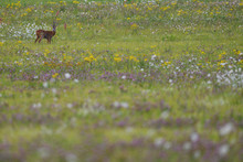 Roe Deer In Flower Meadow