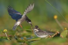Black Tern Feeding Its Chick