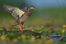 Mallard Duck In Green Vegetation