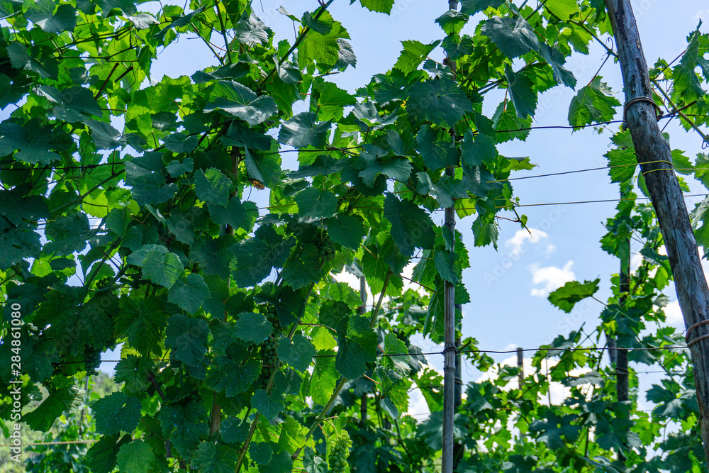 Close up on green grapes in a vineyard, panoramic background. Tuscany, Lunigiana, Italy, Europe