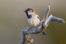 House Sparrow Sit On Tree Branch