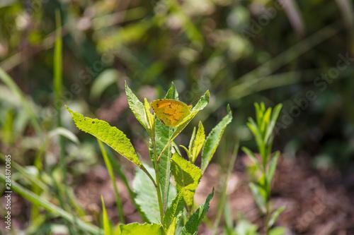 Photo A solitary Sleepy Orange Butterfly alights on a verdant green leaf