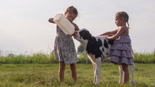 Authentic Shot Of Two Little Girls Are Feeding From The Bottle With Dummy An Ecologically Grown Newborn Calf Used For Biological Milk Products Industry On A Green Lawn Of A Countryside Farm With A Sun