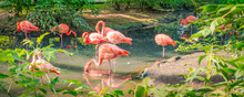 A Flock Of Pink Flamingos In The Water.