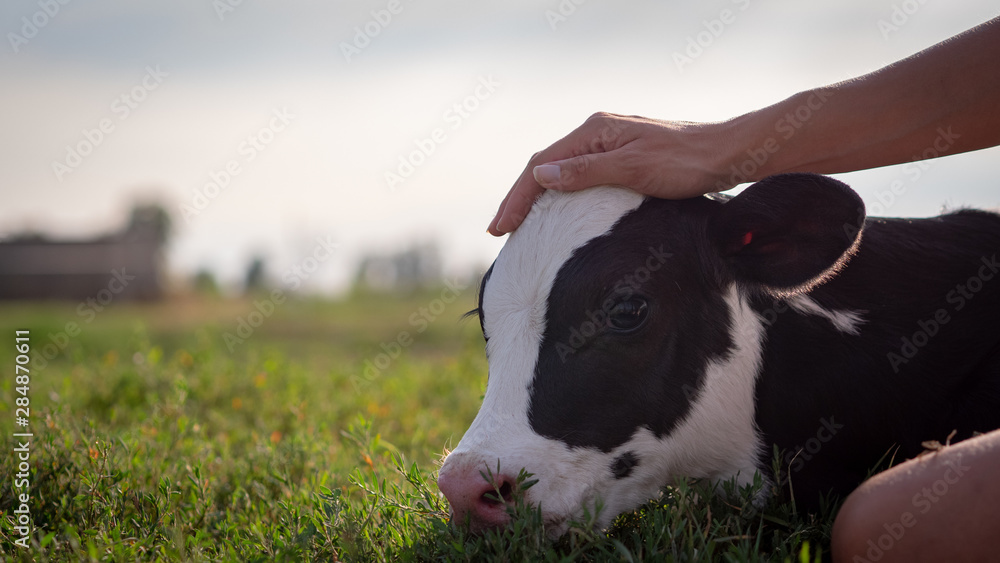 Fototapeta Authentic close up shot of young woman farmer hand is caressing  an ecologically grown newborn calf used for biological milk products industry on a green lawn of a countryside farm with a sun shining.