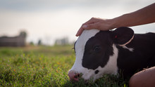 Authentic Close Up Shot Of Young Woman Farmer Hand Is Caressing  An Ecologically Grown Newborn Calf Used For Biological Milk Products Industry On A Green Lawn Of A Countryside Farm With A Sun Shining.