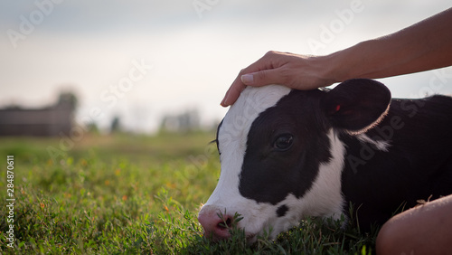 Obraz na płótnie Authentic close up shot of young woman farmer hand is caressing  an ecologically grown newborn calf used for biological milk products industry on a green lawn of a countryside farm with a sun shining
