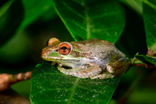 Cuban Treefrog Resting On The ...
