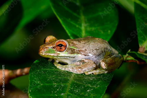 Cuban treefrog resting on the leaf Wallpaper Mural