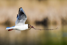 Black-headed Gull; Spring Is Advancing And It's Time To Start Preparing Nest.