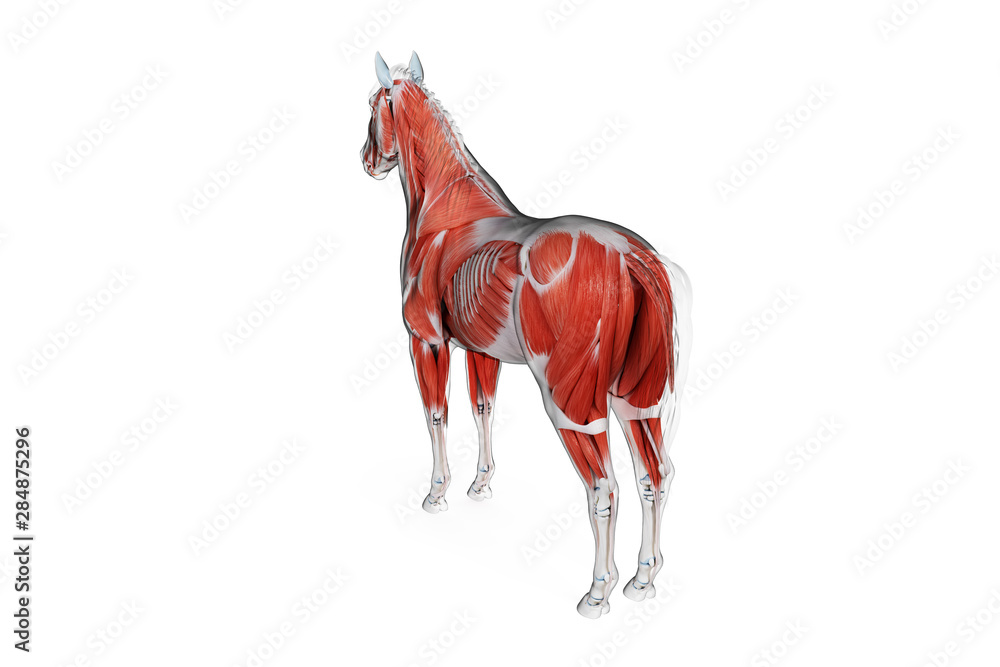 Fototapety, obrazy: 3d rendered medically accurate illustration of a horses muscle anatomy