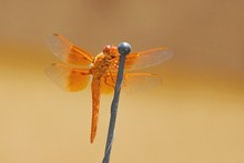Dragonfly Flame Skimmer