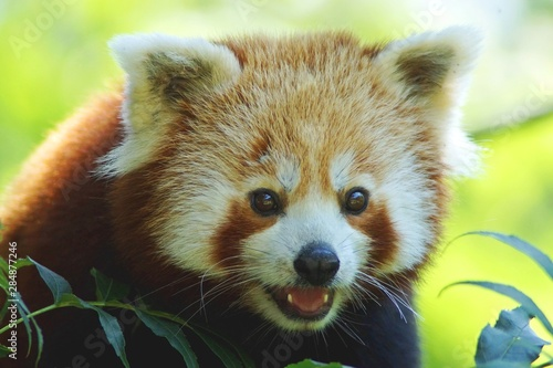 Canvas Print Red Panda Close Up