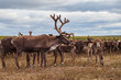 Yamal, reindeers in Tundra, pasture of Nenets