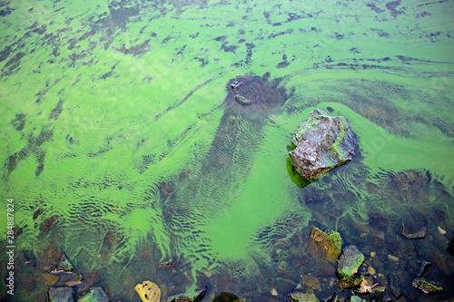 Photo Blooming blue-green algae (Cyanobacteria)