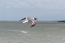 Laughing Gull Flying In Galves...