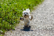 Cute Little Malteser Dog Carrying His Toy