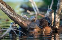 Otter Family 4