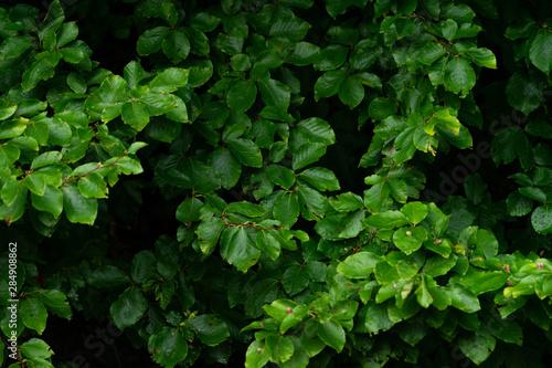 Fotomural  Green lush background. Tropical vegetation backdrop
