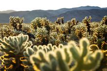 View Of Cholla Cactus Garden During Sunset