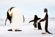 Emperor Penguin And Adelie Penguins, Fast Ice Edge, Commonwealth Bay, East Antarctica.