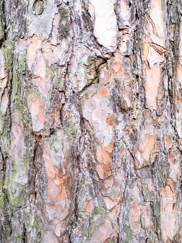 Valokuva vertical background - bark of old pine tree