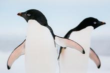 Adelie Penguins, Fast Ice Edge, East Antarctica.