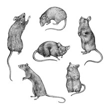 Collection Of Graphic Pencil Drawings. Sketches Of Rodents Isolated On White. Vintage Style. Set Of Realistic Drawing Of A Rats.