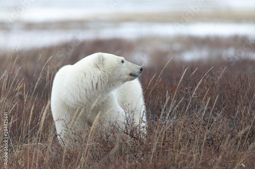 Recess Fitting Polar bear Polar bear in Hudson Bay area of Canada