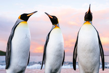 King Penguins At Salisbury Plain, South Georgia Island.