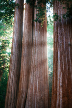 General Grant Grove Of Sequoia Trees, Kings Canyon National Park, California, USA