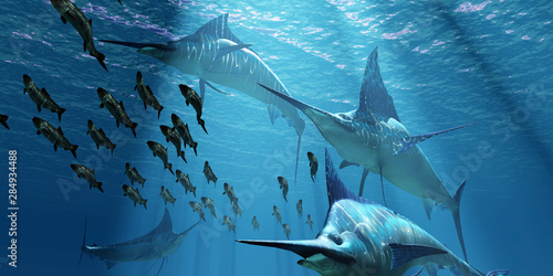 Valokuvatapetti Blue Marlin Hunting - A pack of Indo-Pacific Blue Marlin predatory fish hunt a school of Pacific Herring fish