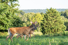 Two White-tailed Deer Bucks (Odocoileus Virginianus) Walking Through Meadow