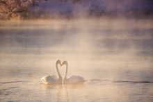 "Two Swans In Love Swim Beautifully On A Winter Lake. ""Lebedinyj"" Swan Nature Reserve, ""Svetloye"" Lake, Urozhaynoye Village, Sovetsky District, Altai Region, Russia"