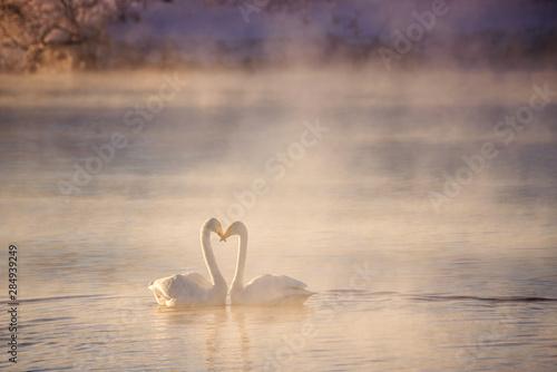 Carta da parati  Two swans in love swim beautifully on a winter lake