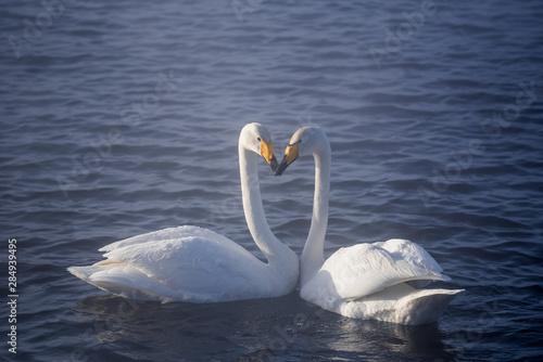 Spoed Fotobehang Zwaan Two swans in love swim beautifully on a winter lake.