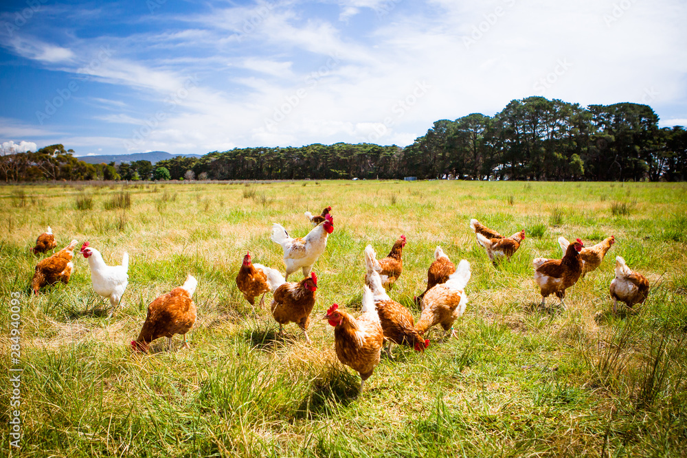 Fototapety, obrazy: Chickens In A Field