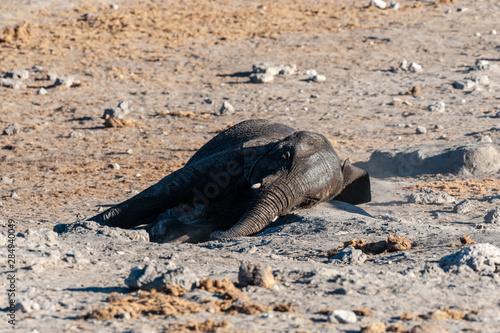 Cadres-photo bureau Tortue A young baby African Elephant -Loxodonta Africana- rubbing its skin on the dusty ground of the Chudop Waterhole in Etosha National Park, Namibia, after having taken a bath.