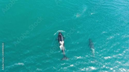 Pinturas sobre lienzo  Group of Killer whales Orcinus orca traveling in blue ocean water, wildlife aeri