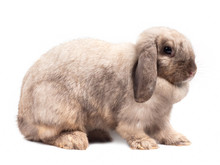 Cute Gray Holland Lop Rabbit Isolated On White Background. Side View Of Gray Rabbit Sitting.