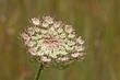 Blüten der Wilden Möhre, Daucus carota, noch nicht ganz aufgeblüht
