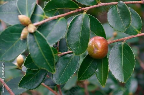Fotografering Lu Shan Snow tea oil camellia (Camellia oleifera Lu Shan Snow)