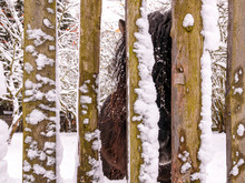 Dark Brown Pony With Long Mane Looks Through The Snowy Fence