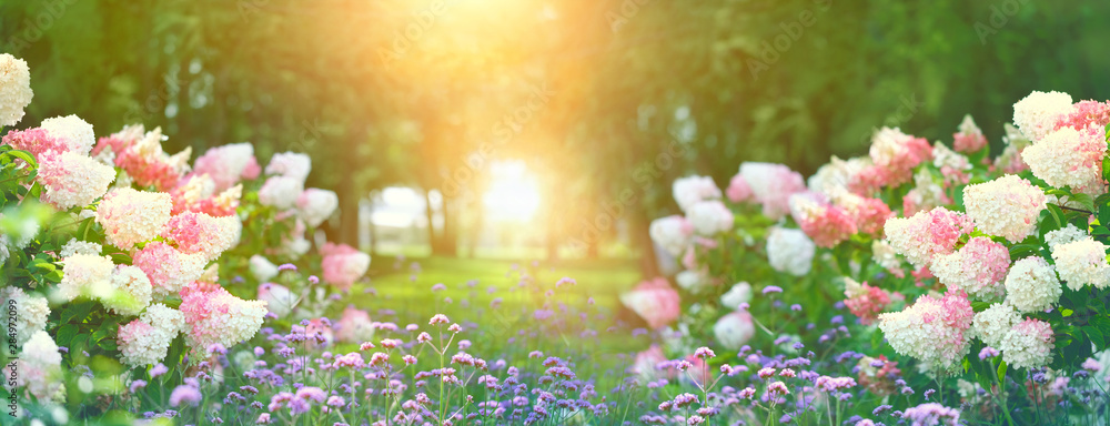 Fototapety, obrazy: beautiful flower bed with hydrangeas in summer garden. blooming flower bed on sunny spring summer day. hydrangea bush with white and pink blossoms. elegant floral background. artistic landscape view.