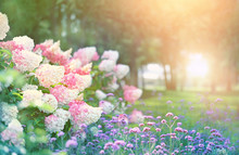 Beautiful Flower Bed With Hydrangeas In Summer Garden. Blooming Flower Bed On Sunny Spring Summer Day. Hydrangea Bush With White And Pink Blossoms. Elegant Floral Landscape Background. Shallow Depth