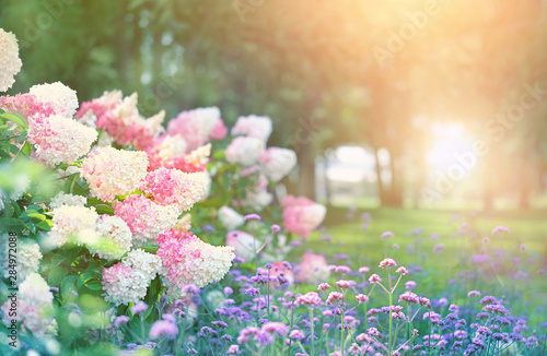 Garden Poster Hydrangea beautiful flower bed with hydrangeas in summer garden. blooming flower bed on sunny spring summer day. hydrangea bush with white and pink blossoms. elegant floral landscape background. shallow depth