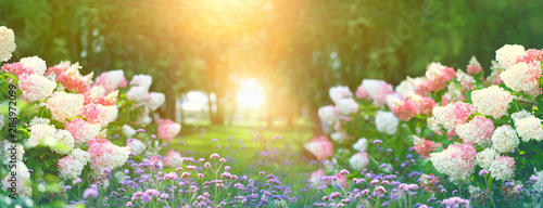 Garden Poster Floral beautiful flower bed with hydrangeas in summer garden. blooming flower bed on sunny spring summer day. hydrangea bush with white and pink blossoms. elegant floral background. artistic landscape view.