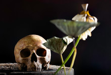 Still Life Of Withered White Royal Lotus With Skull On Old Wooden And Dark Background