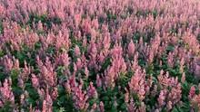 Flying Over Hyssop Plants, Pink Flowers, Drone Aerial Shot Backwards