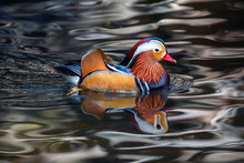 Mandarin Ducks Are Resting In The Swamps.